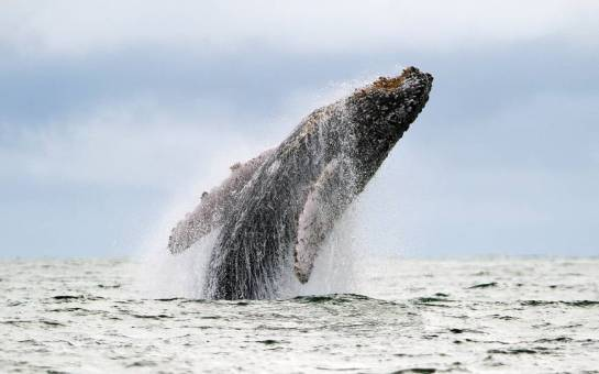 Humpback whale breach--photo courtesy of The Japan Times