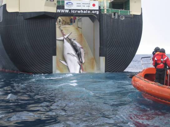 Japanese whaling ship--photo courtesy of The Japan Times