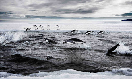 Penguins in the Ross Sea--photo courtesy of The Guardian and John Weller